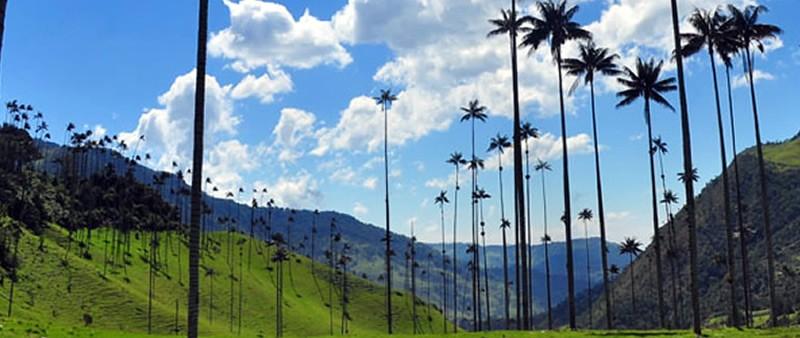 Palmas de Cera Valle de Cocora